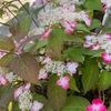長く楽しませてくれたバイカウツギは,一枝二枝だだけが,まだ元気に花を咲かせています.アンズが色づき始め,梅の実の緑色が映えています.今1番元気な花シモツケ.紅・白どちらにも沢山の花が.思いでのキョウガノコ.そして,紫陽花.ヤマアジサイ紅は好みの色で楽しませてくれています.久しぶりに晴れた日曜日の庭はさわやかでした.