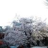 2017年神田明神の桜の記録