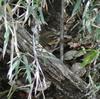 ジィちゃんと探鳥、生田緑地の野鳥&ムスメと探鳥、石神井公園の野鳥。