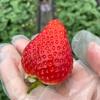 栃木県小山市の「いちごの里」で県外にあまり出回らないという「とちひめ」のイチゴ狩りに行ってきた。