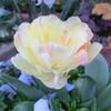 2012 チューリップやアネモネなど春の花