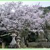 桜三昧 鳴滝公園お散歩編