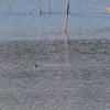 今年初撮り、飛び立つ手賀沼のミコアイサ雄