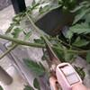 梅雨です。トマトをいっぱい挿し芽しています