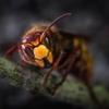 新型コロナの次は「大きなスズメバチ」がアメリカ本土を襲うなんて…
