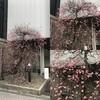 ほぼ満開の梅の花@好文画廊(浜町中の橋交差点)