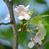 🌸この時期に桜の花を見つけました!