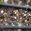 嵐の後はサンタアナ  冬野菜の発芽