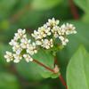 虫注意:ツルソバの蜜はおいしい?