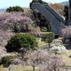 幸田しだれ桜まつり 2020 4/8