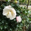 サザンカが咲いていた