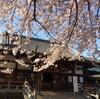 中野の桜通り