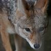 セグロジャッカル Canis mesomelas