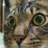 猫は本当に魚が嫌いなの?弱肥満、2歳半の猫に焼き魚を与えてみた!