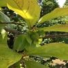 4-124   柿…台風が心配です。
