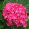 大阪で紫陽花を見るなら長居植物園へどうぞ
