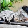 寝てるタイ猫