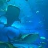 2020年7月 沖縄旅行・3日目-Ⅱ ~ 美ら海水族館のジンベイザメは想像通り良かった ~