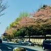 桜が散る頃