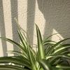【観葉植物/オリヅルラン】ランナーの伸びる速度が速い!