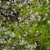 樹木公園「緑の中の桜」