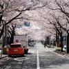 休みの日の雑用合間に地元の桜巡り