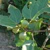 イチジク と 輸入品のバナナの種について