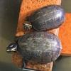 ミスジドロガメの繁殖〜交尾から産卵