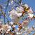 錦江湾公園の桜(2019年4月3日)