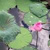 名もなき蓮池を眺め想う~ベトナム、ハノイにて~