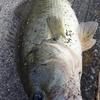 口の小さい、47センチの秋琵琶湖バスを久しぶりのワームで釣ったin琵琶湖カネカ周辺