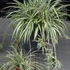 斑入りの植物たち 2017 8月