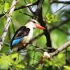 チャガシラショウビン(Brown-hooded Kingfisher)♂