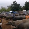 タイ東北部の家畜市場の様子をご覧ください。(水牛編)