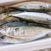 2020年6月5日 小浜漁港 お魚情報