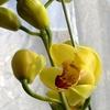 シンビジュームの花と・・・