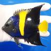 【現物6】アズファー 10.5cm± 海水魚 ヤッコ 餌付け!15時までのご注文で当日発送【ヤッコ】
