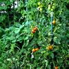 畑で熟れているトマト