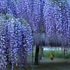 和気神社の藤まつりライトアップ