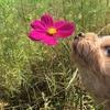 コスモスの花とまるこ