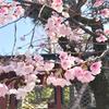 早咲きの桜と花御札