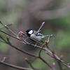 3月下旬:都立井の頭恩賜公園をお写んぽ。その5 桜と野鳥編