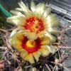神竜玉の開花・結実・採種