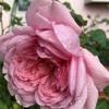 ついこの間までは☆マイガーデン☆の薔薇🌹を減らしていたはず❓❓❓確かにingだったはず