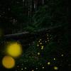 ヒメボタルの写真が撮りたくて再び千葉の山奥へ。大きな玉ボケが撮れたよ!