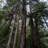 レッドウッドの森3