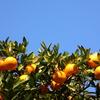 ジャノヒゲに降りた霜&伊予柑の収穫完了&苺パイと焼きドーナツ♪