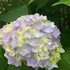 紫陽花から感じる梅雨の季節の到来の兆し☆
