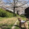 まるこ 桜の回廊をゆく!