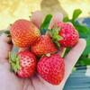 苺の収穫、大粒で甘い!!